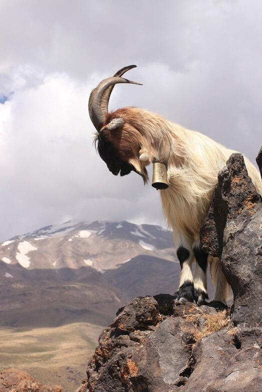 Damavand alibabatrek Damavand flora and fauna-Iran Wild Life - persian goat-Iran blog