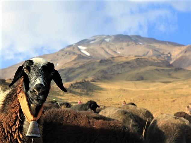 Damavand alibabatrek Damavand flora and fauna-Iran Wild Life - persian sheep-Iran blog